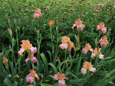 iris is called quot afternoon delight quot with the peonies