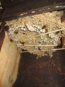Wann Verlassen Wespen Ihr Nest : umweltstiftung rastatt hornissenfachberater bernhard unser ~ A.2002-acura-tl-radio.info Haus und Dekorationen