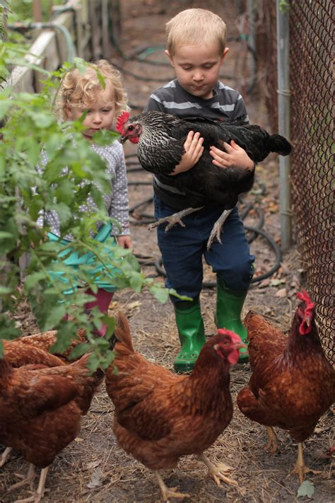 Backyard Chicken by Five Reasons To Not Keep Chickens Live Simply