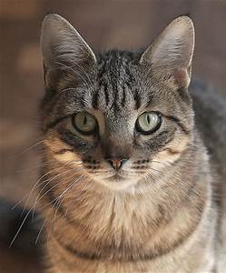 Brown Tabby Cat | Flickr - Photo Sharing!