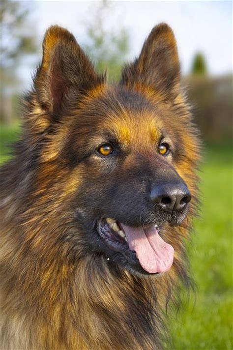 long haired german shepherd  elusive exotic breed