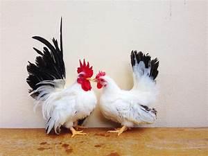 Black Tailed White Japanese Bantam Chicks Cackle Hatchery