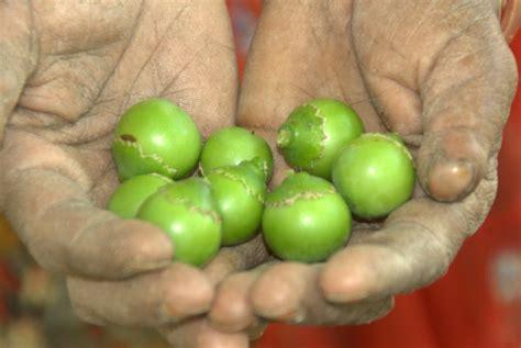 Gunda Fruit Photo