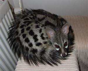 Large spotted Genet | Animals | Pinterest