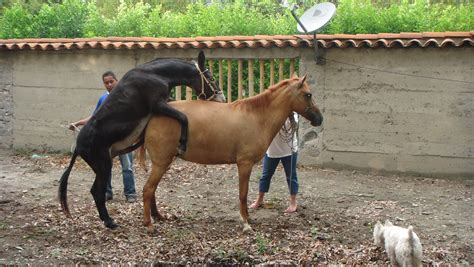 burro apareandose  una yegua burros yeg  erizos