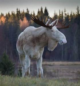 1000+ images about Animal - Deer - Moose on Pinterest ...