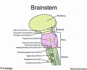 Brainstem - Neurology