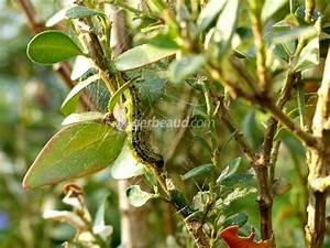 Pyrale Du Buis Traitement Bayer : pyrale du buis identification pr vention et traitements ~ Dailycaller-alerts.com Idées de Décoration