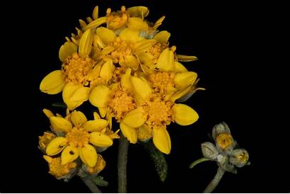Yarrow Golden Plant Sunflower Eriophyllum Confertiflorum Canyon