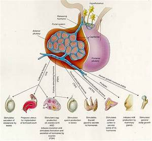 10  Images About The Beautiful Pituitary On Pinterest