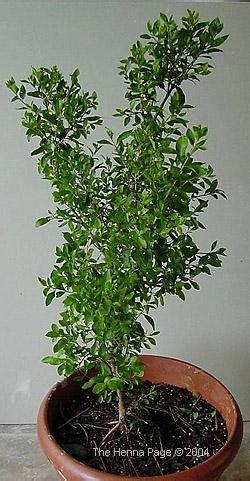 henna page  encyclopedia  henna growing henna