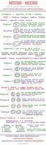 Mitosis And Meiosis Mcat Cheat Sheet Study Guide