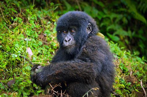 mountain gorillas future    brighter