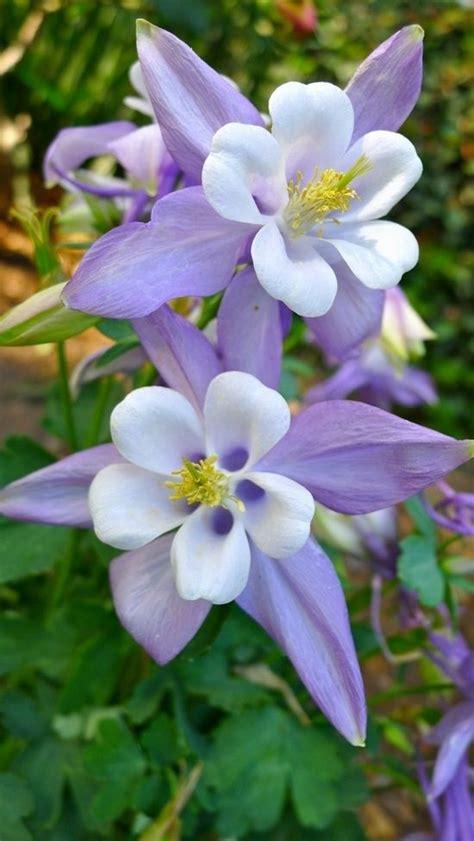 purple aquilegia purple columbine plants pinterest