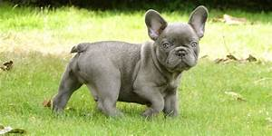 blue frenchie. i'm in love! | Frenchie Love | Pinterest ...