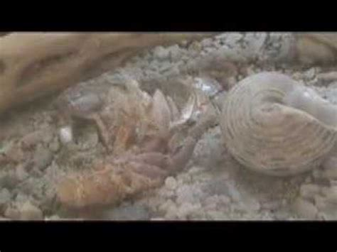 do hermit crabs shed hermit crab surface molting