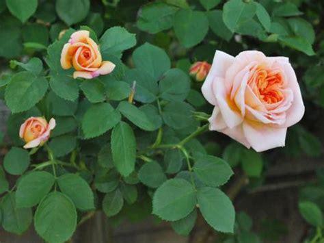 Botanical Gardens Washington Dc by Shrub Rose United States Botanic Garden
