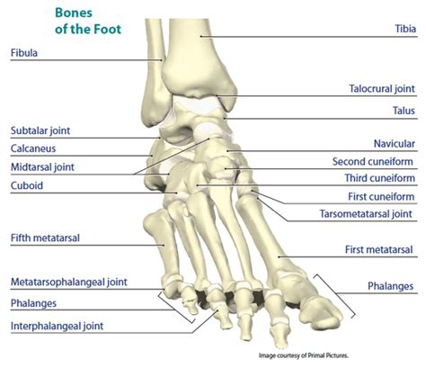 16. Ankle Joint Actions and Muscles — Brookbush Institute ...