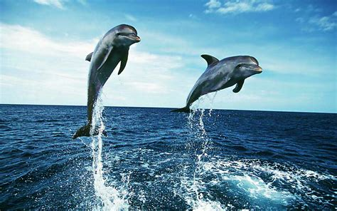 Animal Wallpaper For Desktop Size - dolphin in the sea hd wallpaper high resolution wallpaper