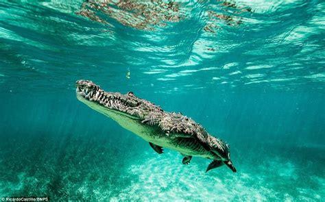 photographer captures images  crocodiles  cuba daily