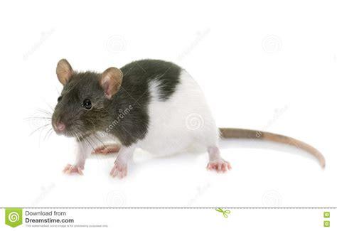 Black Rat On White Royalty-Free Stock Photography ...