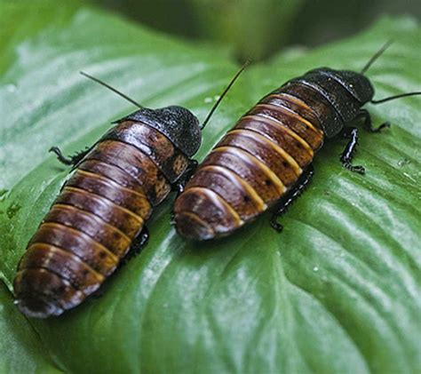hissing madagascar cockroach cockroaches species largest mt aquarium they scale glass malta facts unlike wingless native most fish