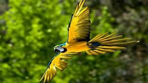 Flying Blue And Yellow Macaw Parot Bird : Wallpapers13.com  Bird