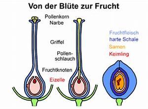 Aufbau Einer Blume : die blume des lebens die frucht des lebens ~ Whattoseeinmadrid.com Haus und Dekorationen