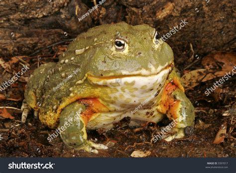 African Bullfrog (pyxicephalus Adsperus) Stock Photo