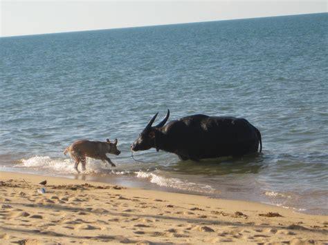 thailand reisebericht wenn ein carabao baden geht