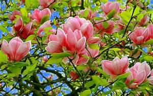 Fleur De Magnolia : photos de fleurs fond ecran nature fleur printemps ~ Melissatoandfro.com Idées de Décoration