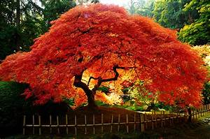 Japanese Maples | Cobbs Trees