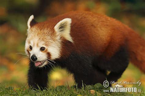 Sarkanā panda Fotogrāfijas, Bildes