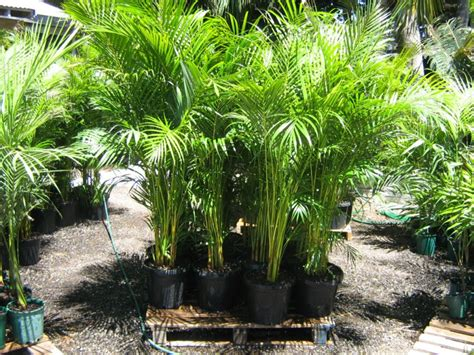 28 best large trees for sale perth lime tree in perth