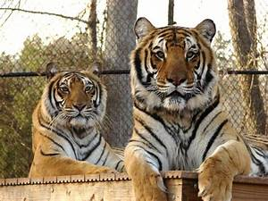 Feline Conservation Federation Ends Speculation about ...