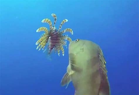 grouper nassau lionfish caught stalking devouring eating