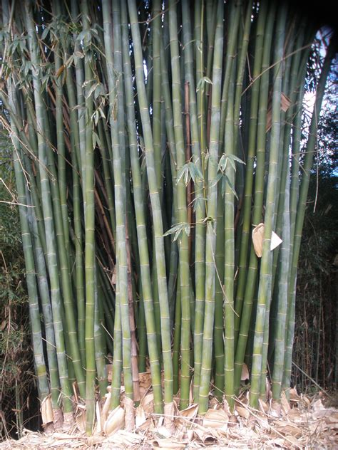 A Bamboo Shoot Is 20 Inches Best Timber Shoot Bamboo The Bello Bamboo Company