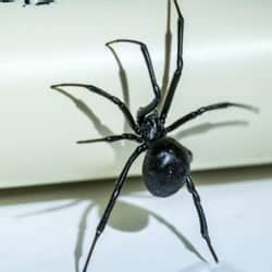 Are Black Widow Spiders Really Dangerous?