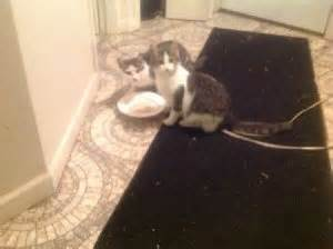 how do i if my cat has worms remedies for worms in cats thriftyfun