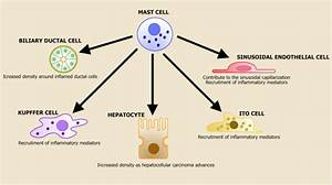 Mast Cells And The Liver Cell Interactions  The Parenchyma