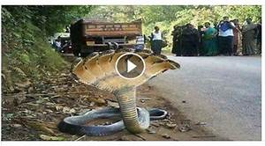 Amaizing clips: Amazing 7 Headed Snake In India