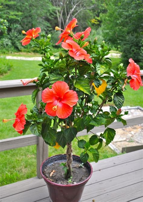 these hibiscus trees are doing so well in the heat continually blooming as as they are