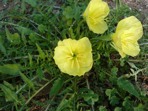 evening primrose plant blooming right now stemless evening primrose oenothera triloba sincerely emily