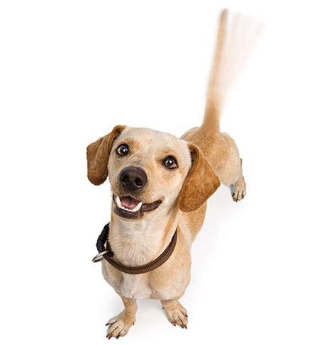 chiweenie breed characteristics puppyspot