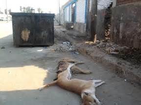 Street Dogs in Egypt
