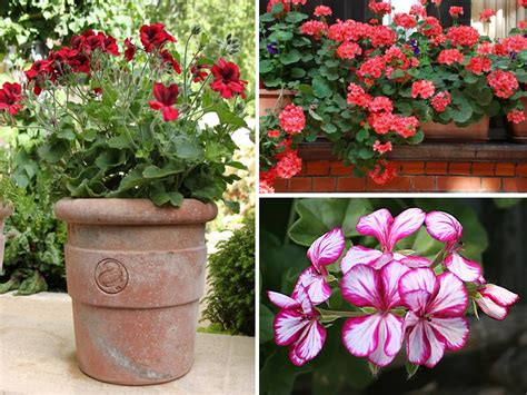 planting geraniums in pots flowers in pots bedding geraniums instant burst of summer colour cox garden designs