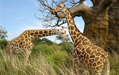 Giraffe Wallpapers Pair 4k Desktop