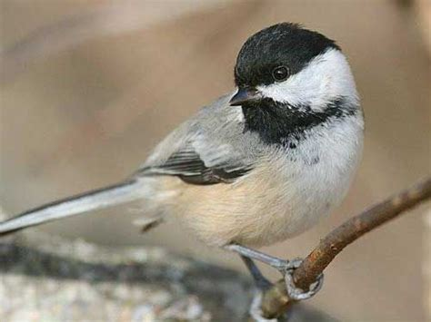 chickadee bird the black capped chickadee is the