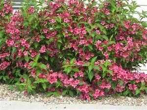 Weigela Bristol Ruby : weigela 39 bristol ruby 39 plantes jardin et autres ~ Michelbontemps.com Haus und Dekorationen
