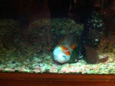 goldfish  aquarium club